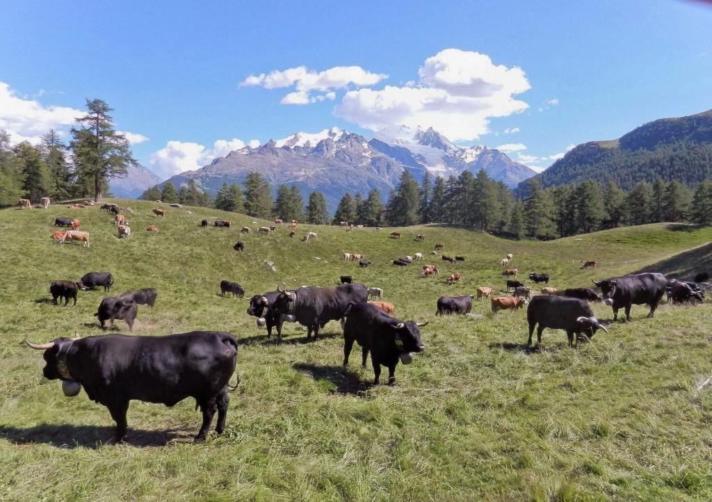 140 Kühe auf der Moosalp im Sommer. Schwarze Kühe = Eringer und bunte Milchkühe