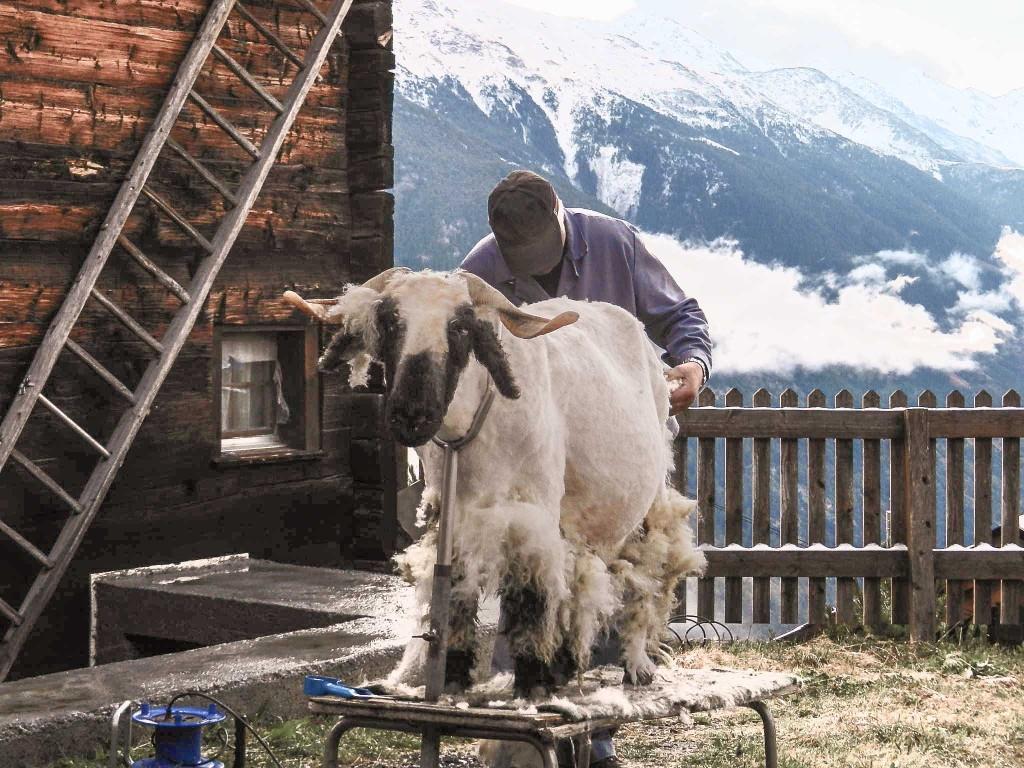 Schur der Schafe, Mitte/Ende September