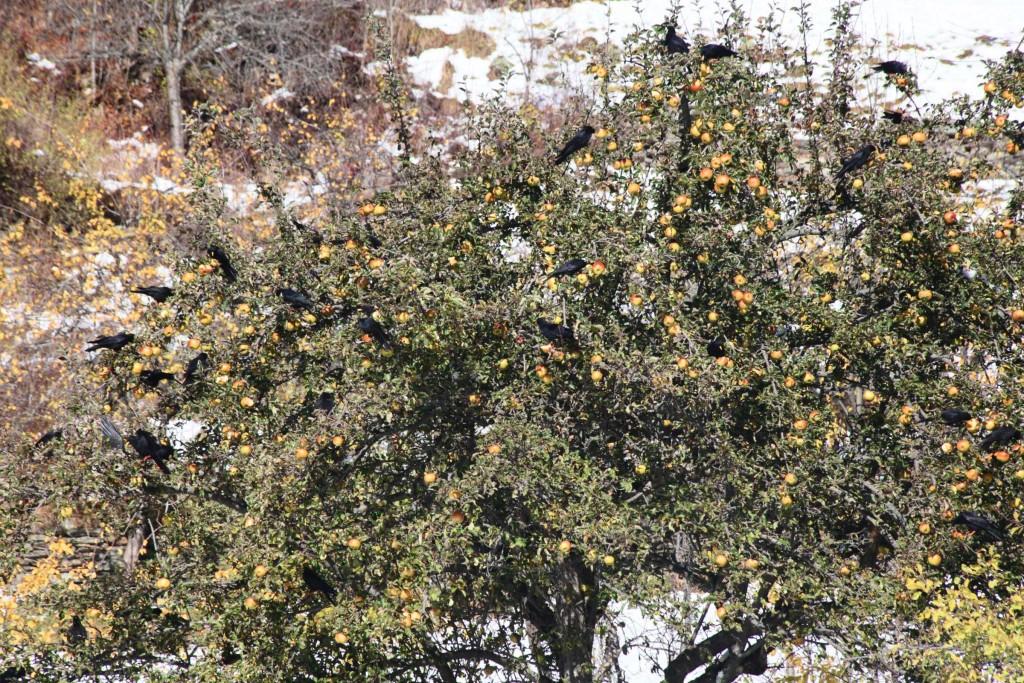 Krähen laben sich an herbstlichen Äpfeln, Oktober