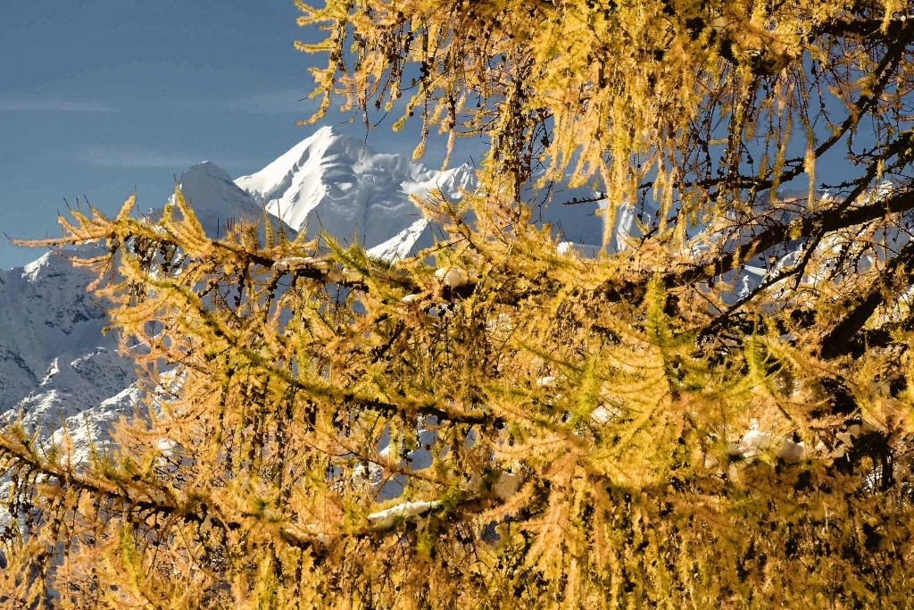 Gold-Blau-Weiss: intensivstes Farbspiel Ende Oktober bis Anfang November