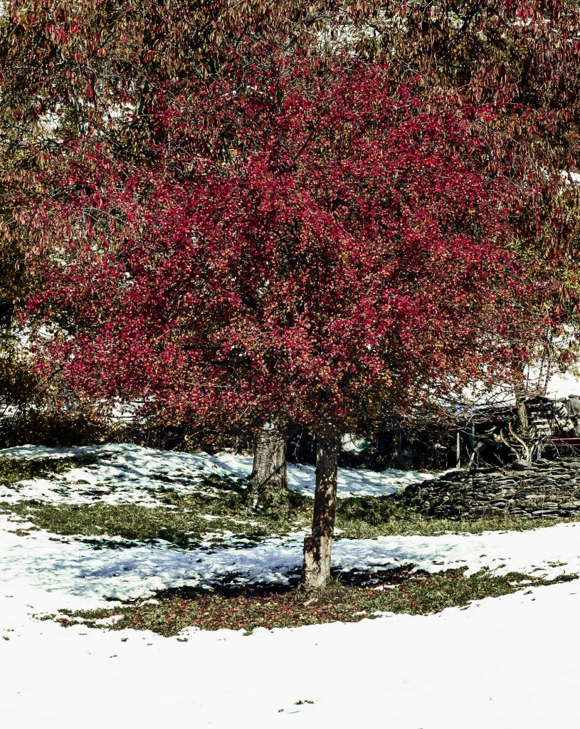 Der Granatapfelbaum zeigt sich tiefrot, Ende Oktober (siehe auch Foto unter Sommer)