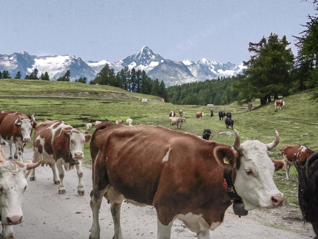Nachmittäglicher Zug der Kühe zum Stall auf der Alpe, im Hintergrund Bietschhorn in Blickrichtung Nord, Juli und August