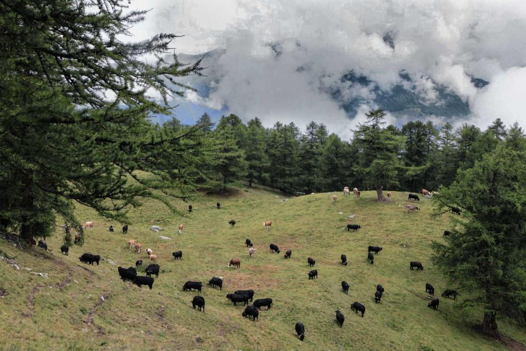 Berge-Wolken-Kühe (Moosalp)