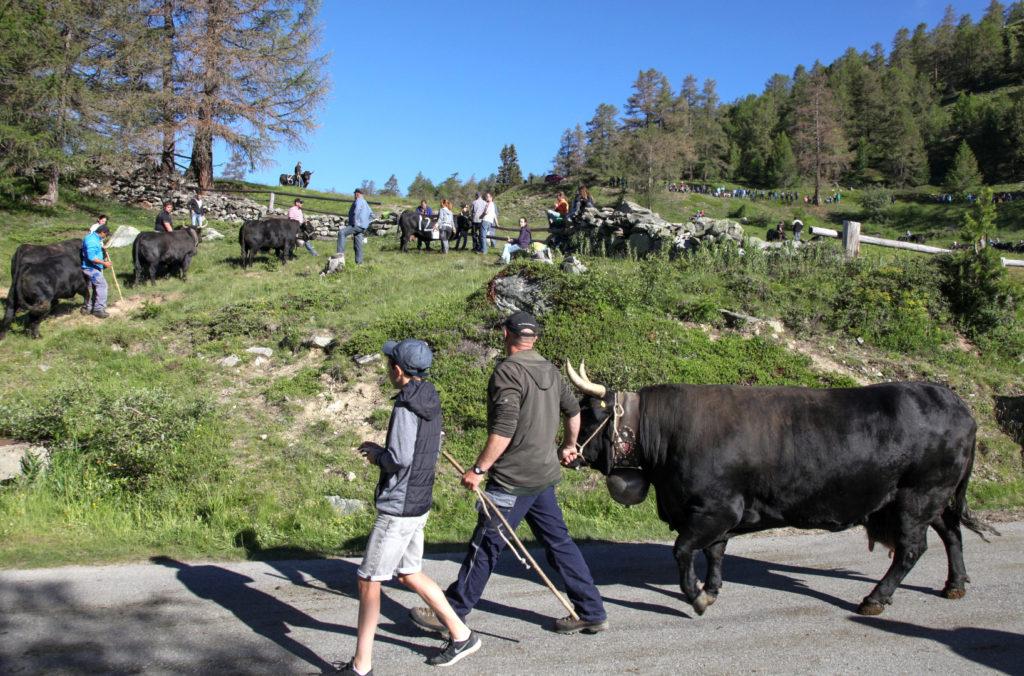 Links stehen die Kühe an, um ihre Nummer aufgemalt zu bekommen. Circa 80 Kühe der Rasse Eringer nehmen teil. Zur Klarstellung: es handelt sich ausschliesslich um weibliche Kühe, keine Stiere.