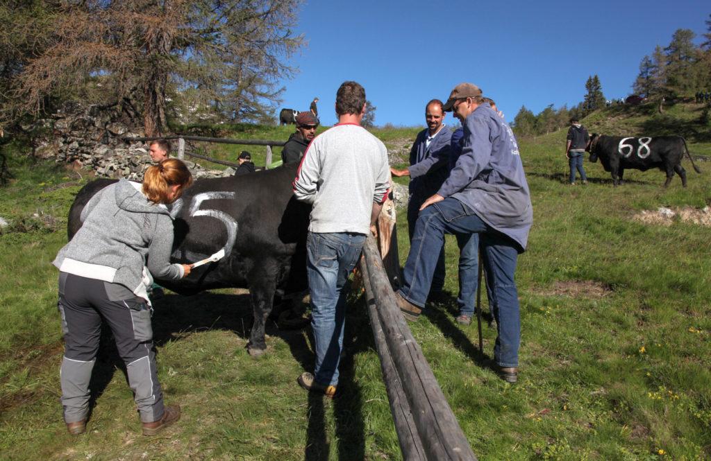 Der Kuhkampf findet alljährlich Ende Juni etwas unterhalb der Moosalp statt. 2018 ist bestes Wetter, allerdings ist der Sommer auf 1.950 m Höhe nach dem sehr schneereichen Winter noch in den Anfängen. Damit die Kühe in der Kampfarena auch zu unterscheiden sind, bekommen sie eine Nummer aufgemalt.