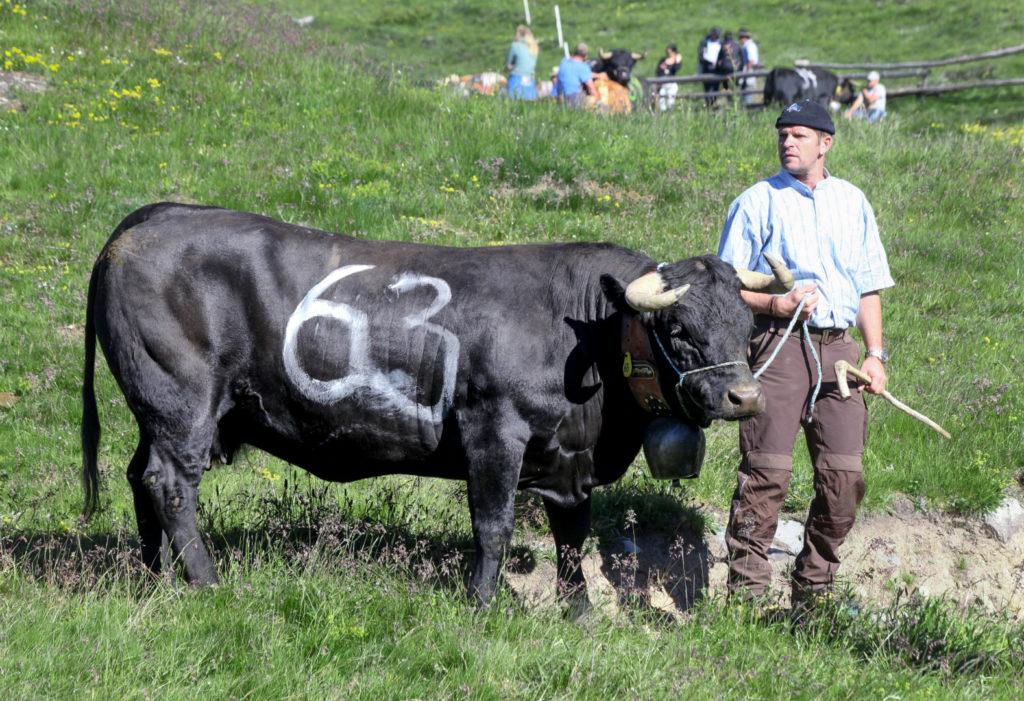Nevada mit ihrem Halter. Die Kühe sind zwischen 4 und 12 Jahre alt, Nevada ist 6 Jahre.