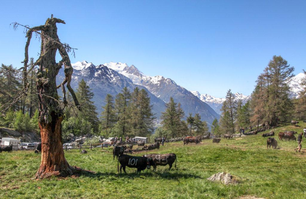 Im Hintergrund mittig-links die Mischabelgruppe, ganz rechts Weisshorn 4.505 m, dazwischen das Zermatter Tal. Die grosse, aber schon lange abgestorbene alte Lärche links, mit ihrer mächtigen und an einen Bergdämon erinnernden Gestalt, ist leider im Herbst 2018 umgestürzt. Allerdings haben die Kühe ihr auch regelmässig kräftig zugesetzt.