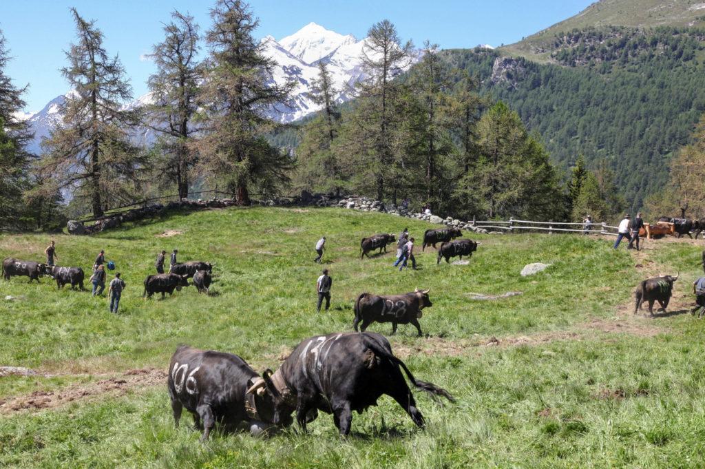 Pistache und Frisée lassen nicht locker, aber die anderen Kühe haben den Hauptkampf beendet und ziehen gemeinsam mit ihren Haltern zur oberhalb gelegenen Alpweide.