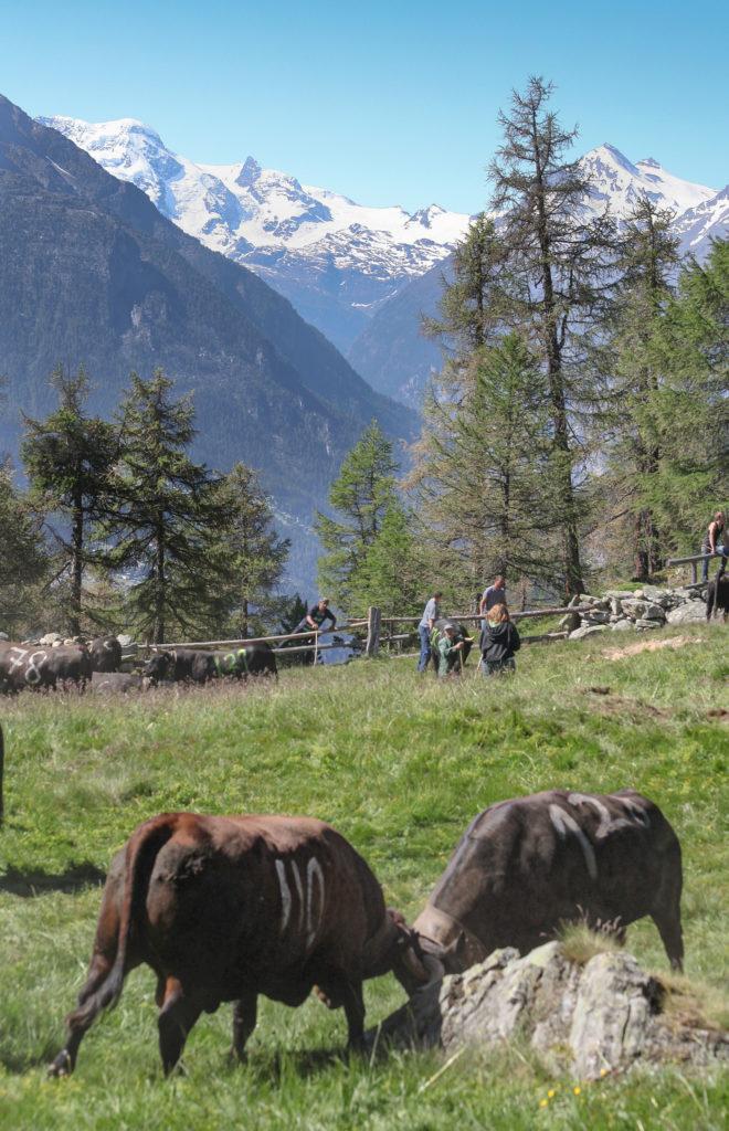 Hinten links Breithorn 4.164 m und daneben das charakteristische Kleinmatterhorn. Vorne ringen Rosi und Madrid.